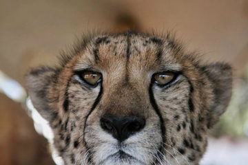 cape-town-safari-full-day-cheetah