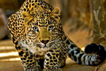kruger-park-private-game-reserve-3-days-safari-leopard