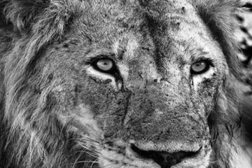 kruger-park-safari-lion-564x480