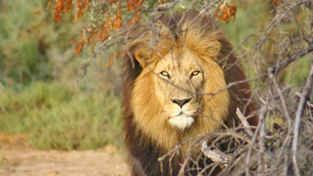 5-parks-live-unforgettable-safari-south-africa-inverdoorn-lion