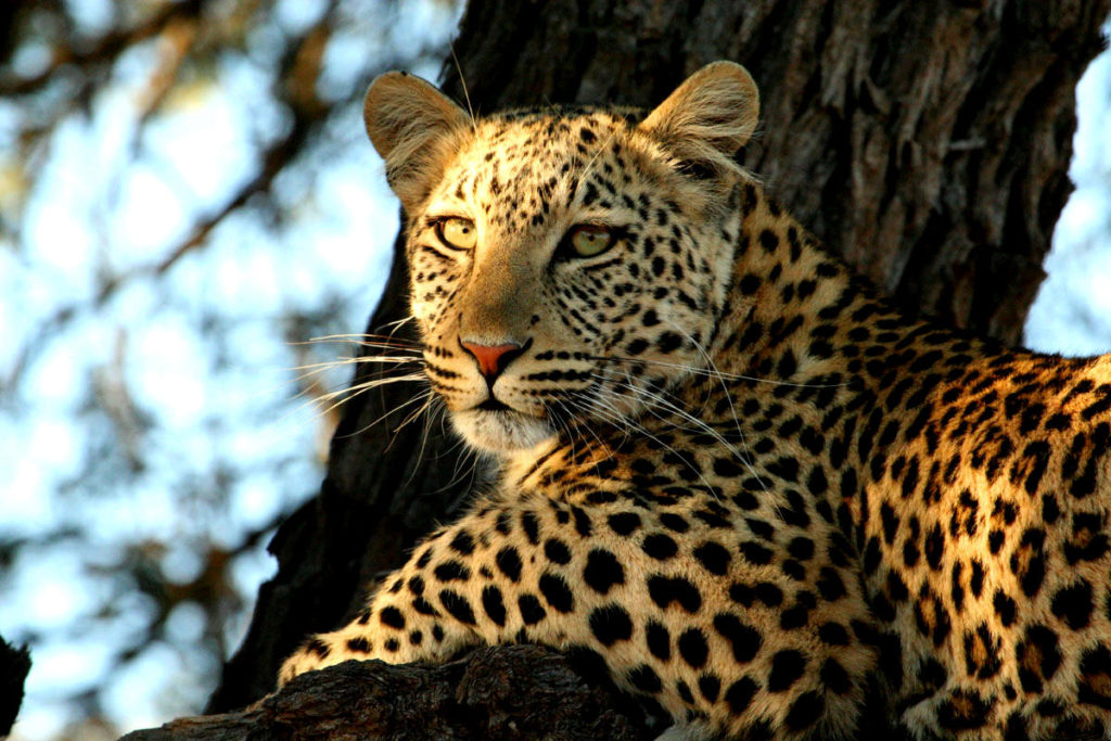 5-parks-live-unforgettable-safari-south-africa-kruger-leopard
