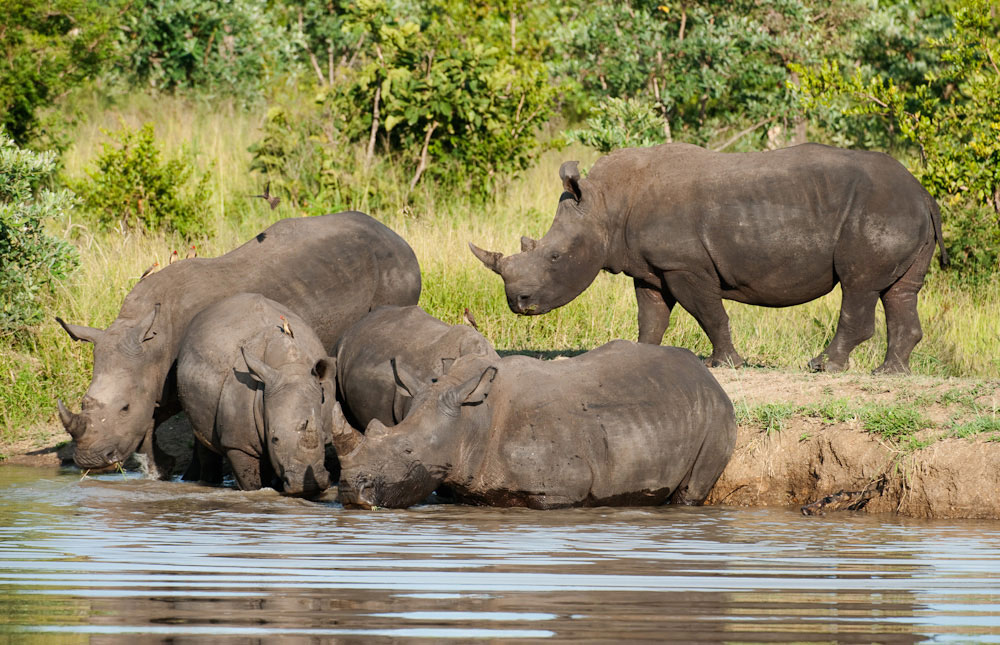5-parks-live-unforgettable-safari-south-africa-kruger-rhinos