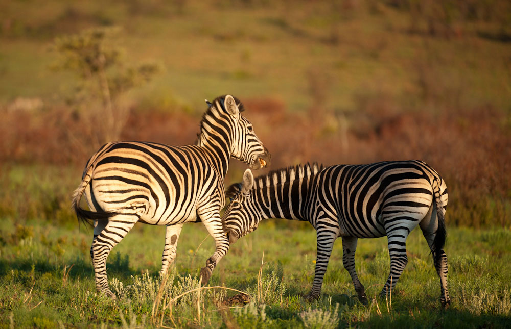 5-parks-live-unforgettable-safari-south-africa-pilanesberg-zebras
