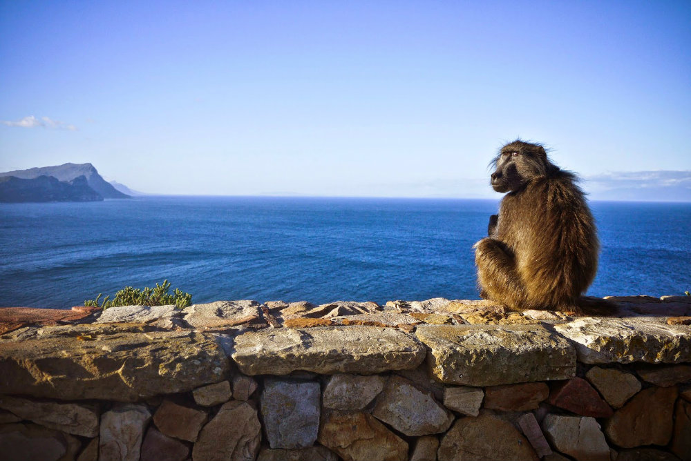 5-places-see-animals-cape-town-baboon