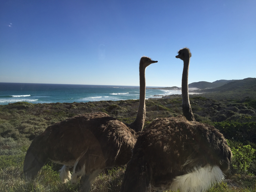 5-places-see-animals-cape-town-ostrich