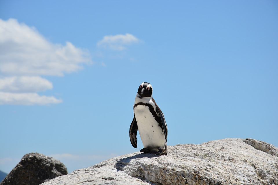 5-places-see-animals-cape-town-penguin