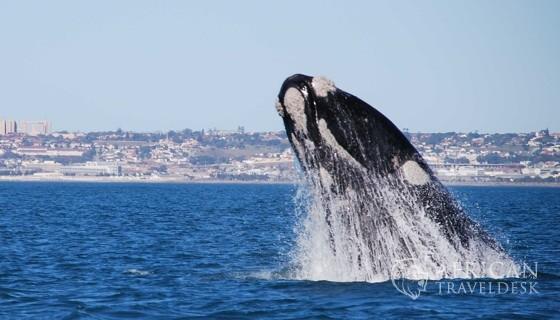 breaching-behaviour-whales