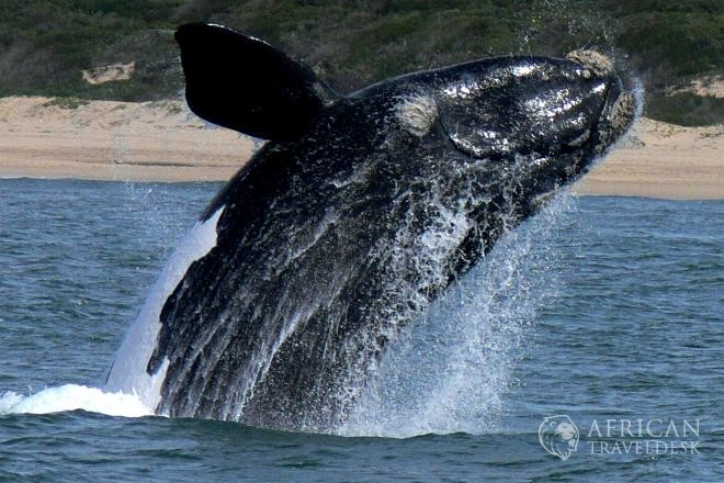 breaching-southern-right-whales