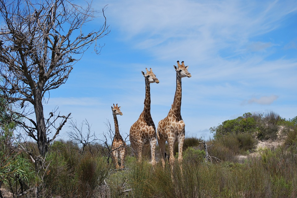 family-giraffe-safari-south-africa