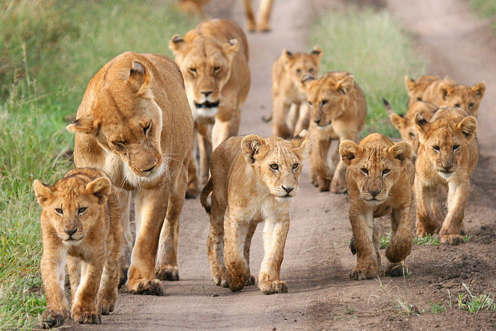 family-lion-south-africa