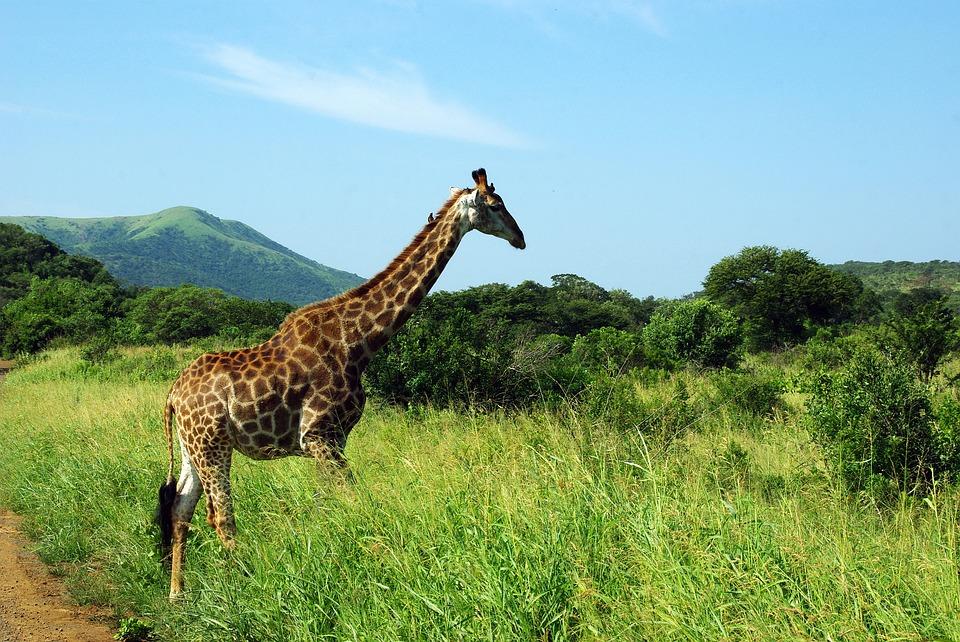 giraffe-kruger-safari