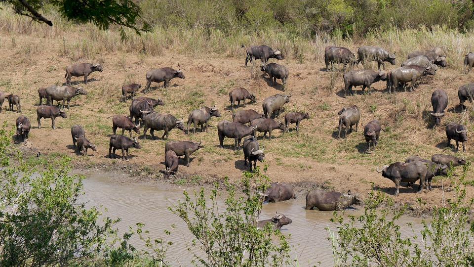 herd-buffalo-safari-africa