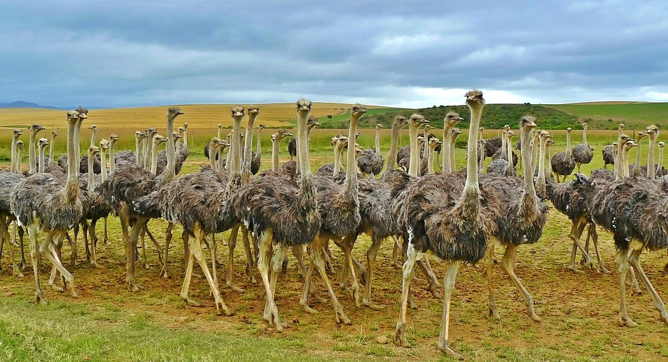 herd-ostrich-animal-south-africa