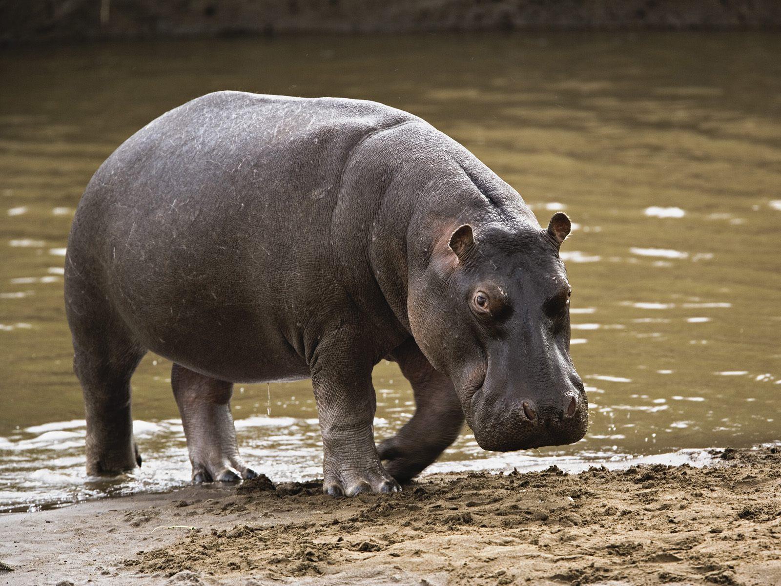 hippo-savannah-safari-wildlife