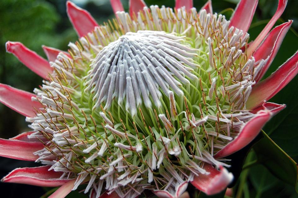 king-protea-kirstenbosch