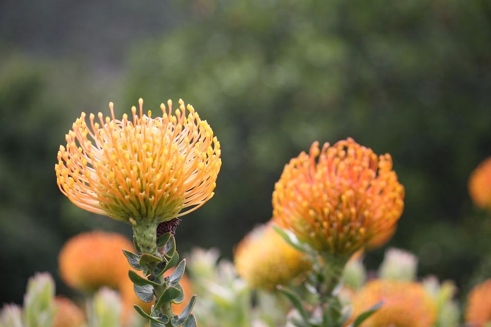 kirstenbosch-fynbos-flower