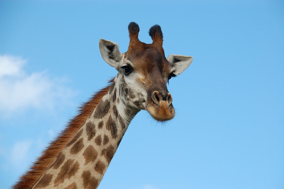 savannah-giraffe-wildlife