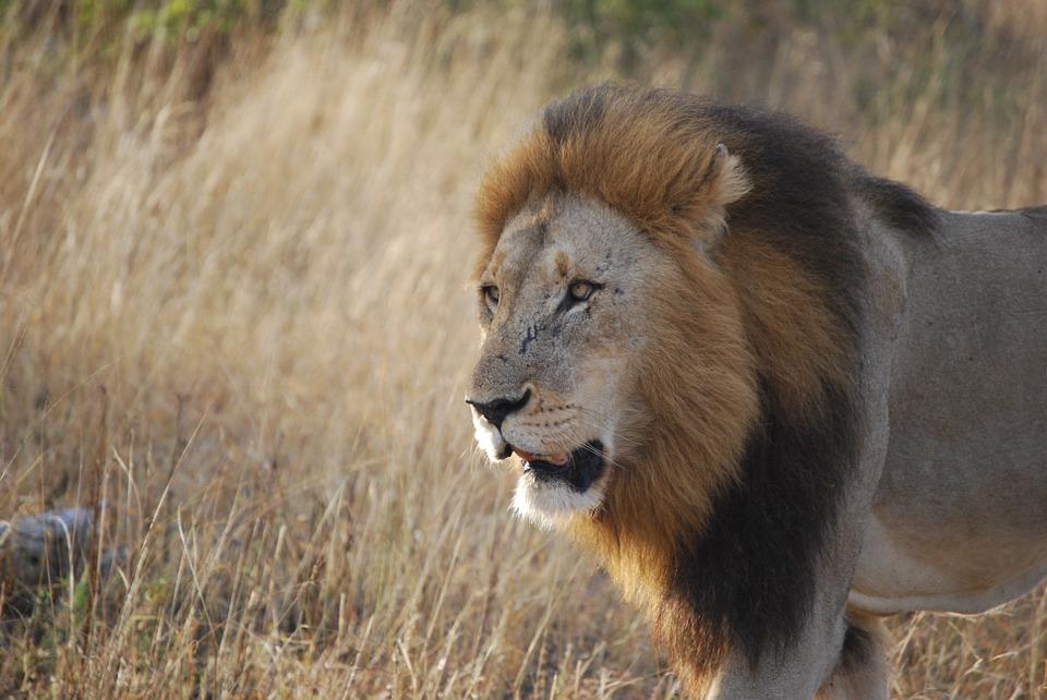 savannah-lion-safari