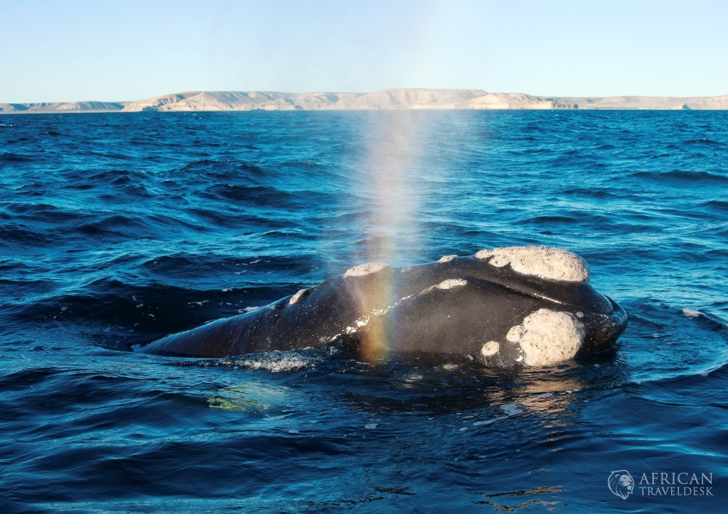 southern-right-whale-qouth-africa-hermanus