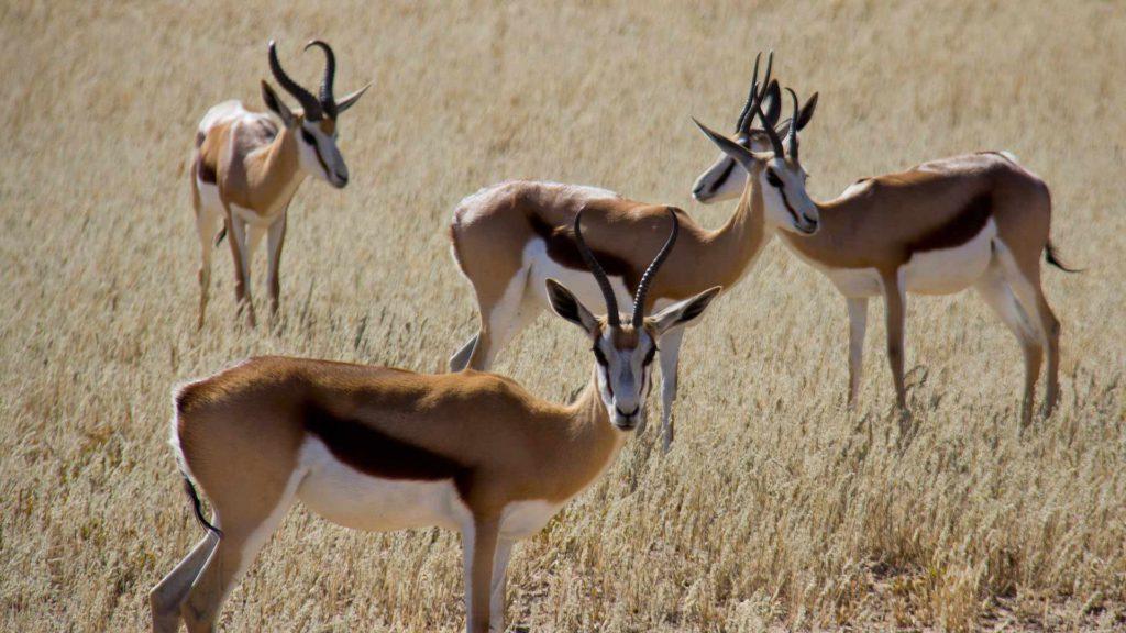 springbok-hed-animal-wildlif