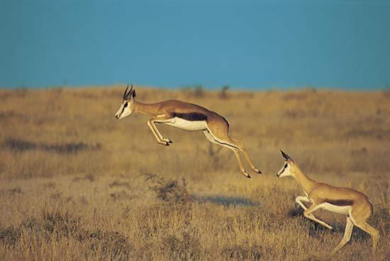 springbok-safari-south-africa-jump
