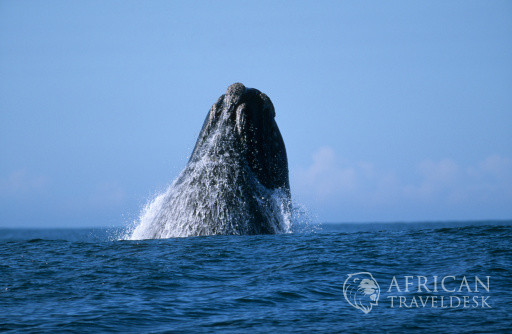 Southern Right Whale (Eubaleana Australis) Breaching the Ocean Surface
