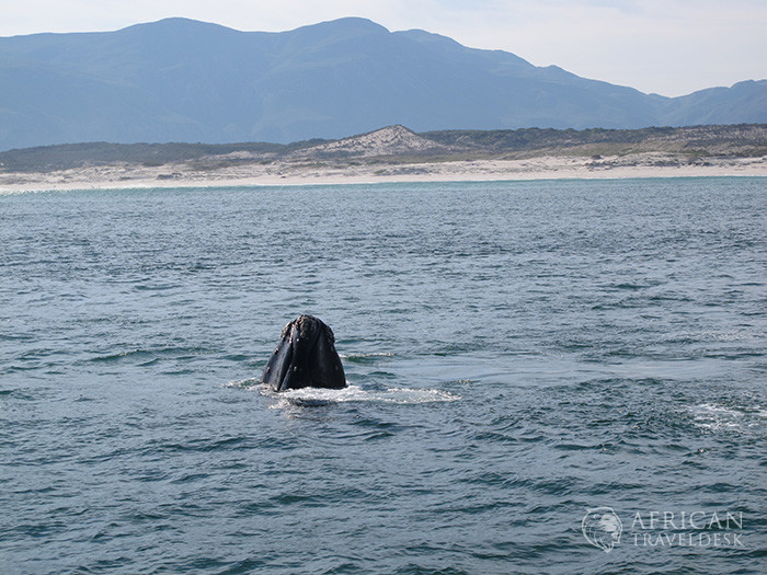 spyhopping-whale-hermanus