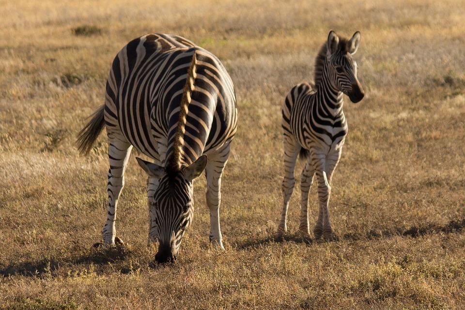 zebra-young-savannah