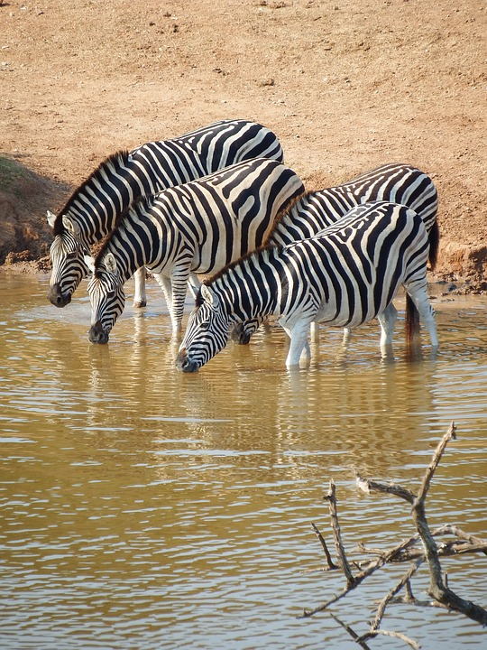 zebras-watering-place-south-africa