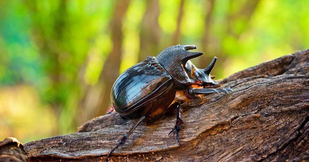 Rhino Beetle - Cape Town Safari