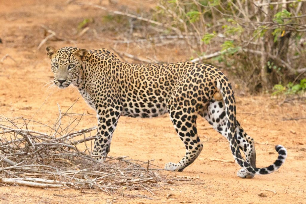 Safari / Leopard
