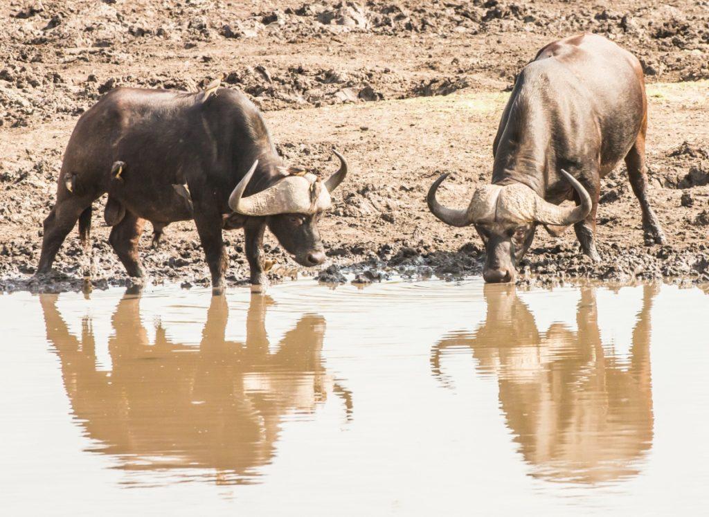 Safari / Buffalo
