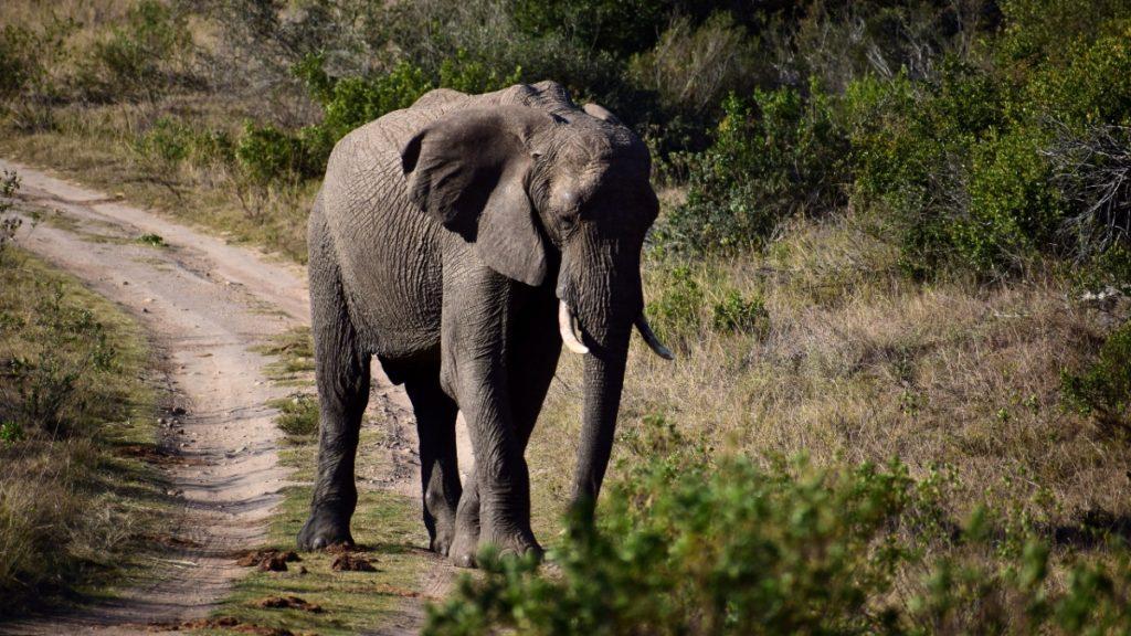 Safari / Elephant