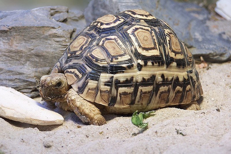 Leopard Tortoise - Cape Town Safari