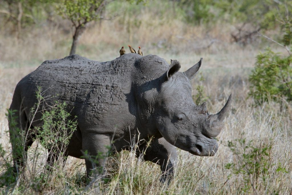 Safari / Rhino