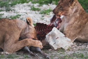 eating-lions