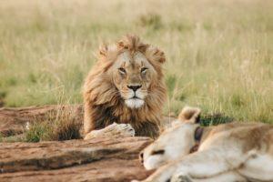 Lion - Cape Town Safari